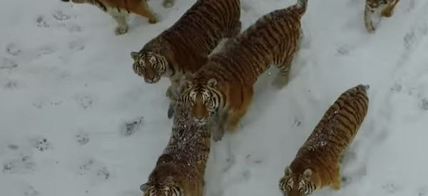 Viral Tiger Drone Video Reveals A Grim Reality In China