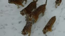 Viral Tiger Drone Video Reveals A Grim Reality In