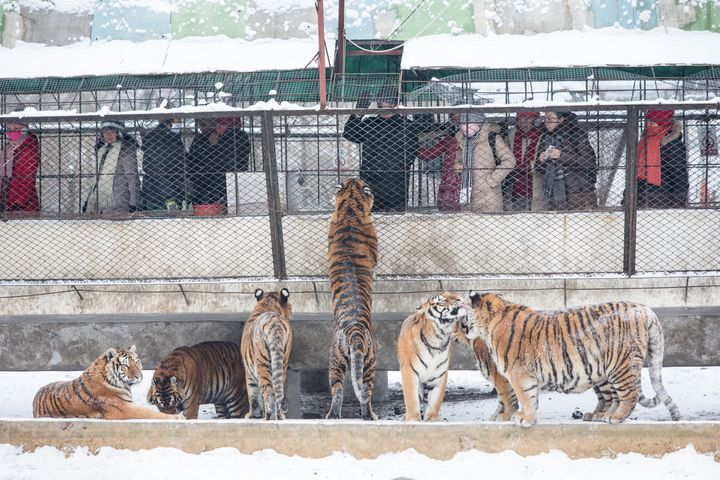 A tiger begs tourists for treats at the Heilongjiang Siberian Tiger Park in Harbin.
