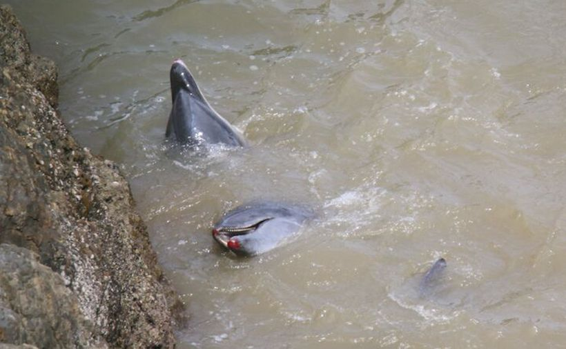 Bloodied bottlenose dolphins after throwing themselves up against rocks, Taiji, Japan
