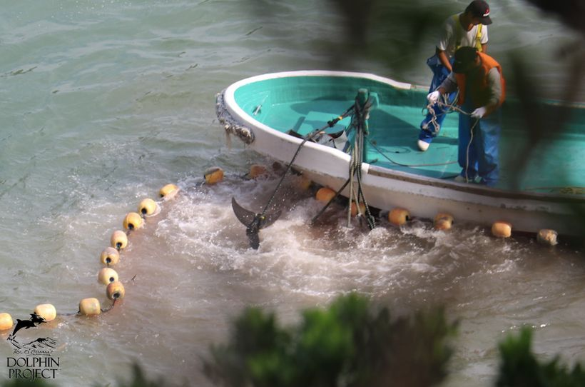 Live striped dolphins panic as they are tied by their tails and dragged to slaughter, Taiji, Japan