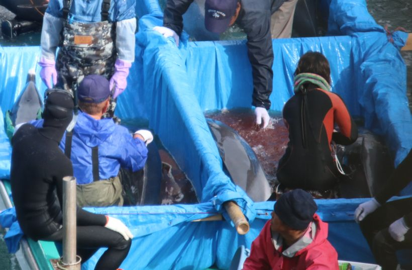 Dying pantropical spotted dolphin after capture, Taiji, Japan