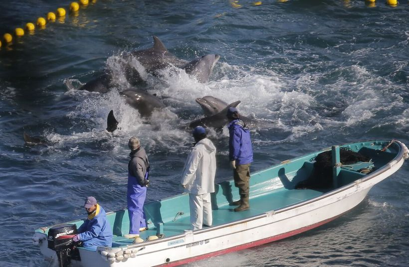 A massive pod of bottlenose dolphins panic after being driven into the cove, Taiji, Japan