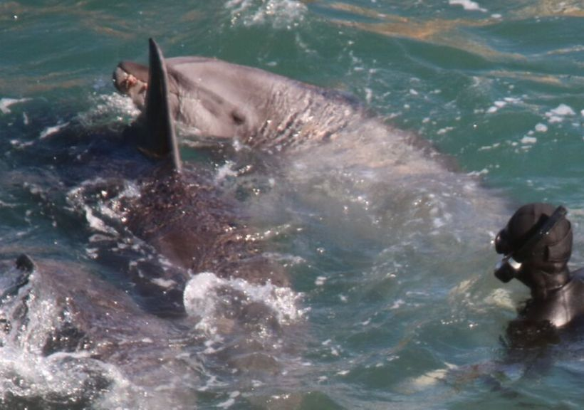 Bloody substance – possibly vomit – observed in dolphin's mouth as divers wrangle the mammal into nets, Taiji, Japan