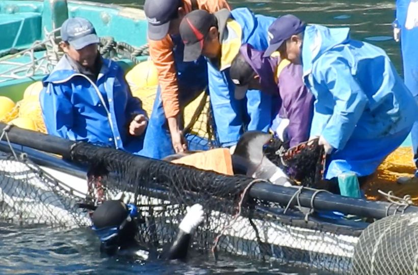 "White ""paint-like"" substance smeared onto back of Pacific white-sided dolphin prior to being dumped in harbor pen, Taiji, Jap"