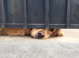 Adorable Dog Waits For BFF To Walk Past His Gate Every Day