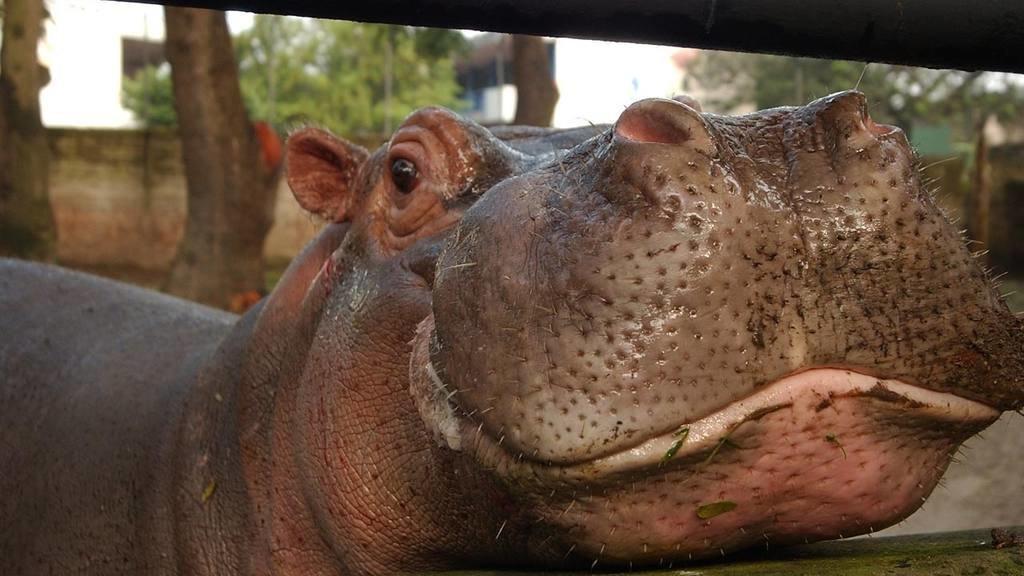 Beloved Hippo Gustavito Fatally Beaten In El Salvador