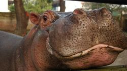 Beloved Hippo Gustavito Fatally Beaten In El Salvador