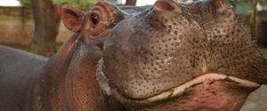 GUSTAVITO THE HIPPO