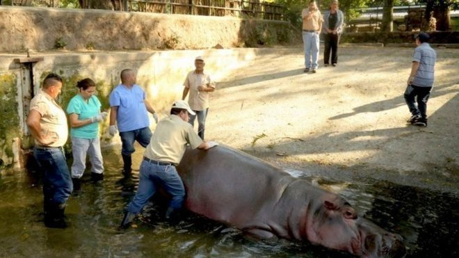 Zoo workers surround Gustavito in his pool after the alleged attack.