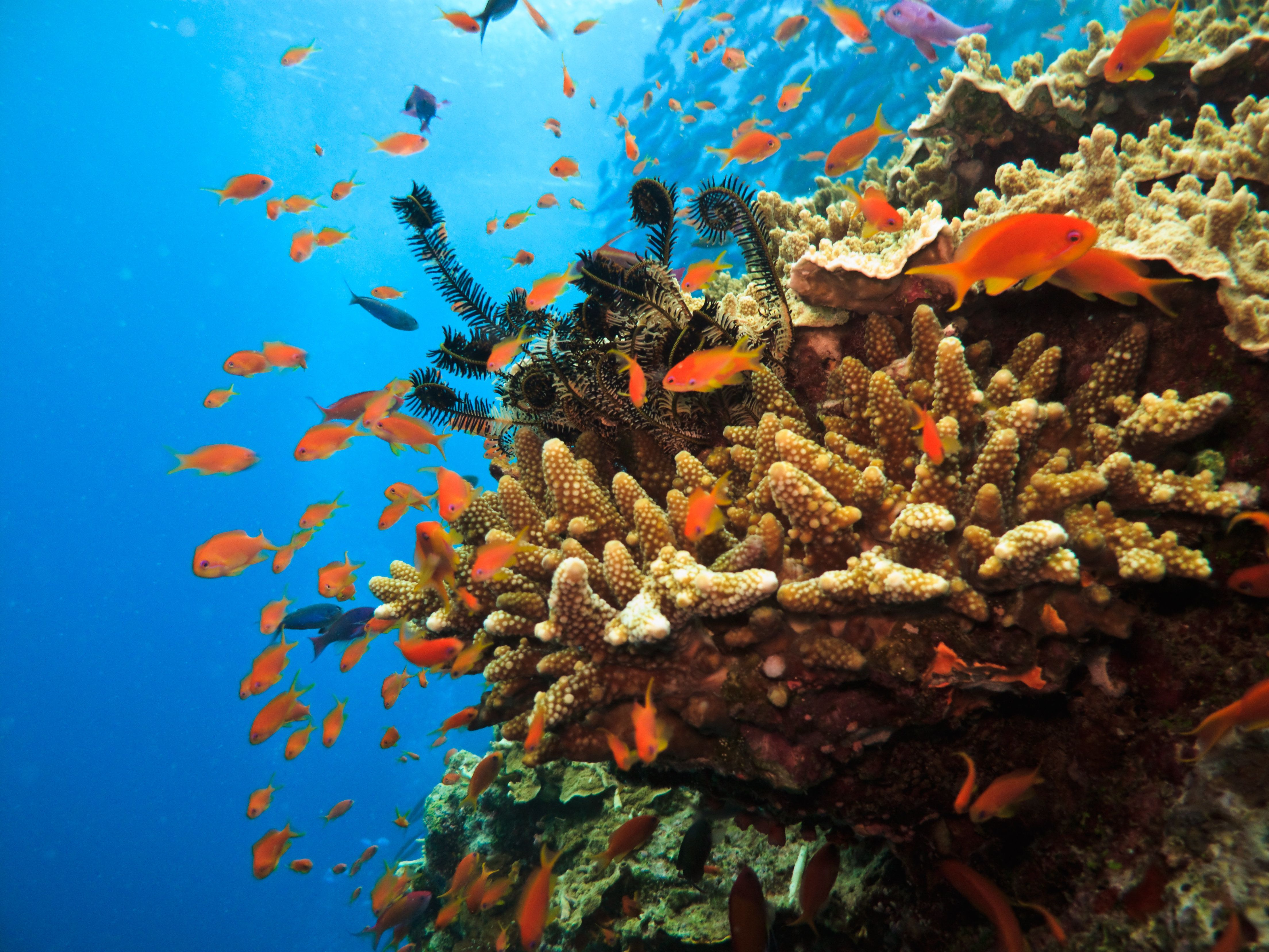 Stony Coral Colony and soldier fish Great Barrier Reef Australia