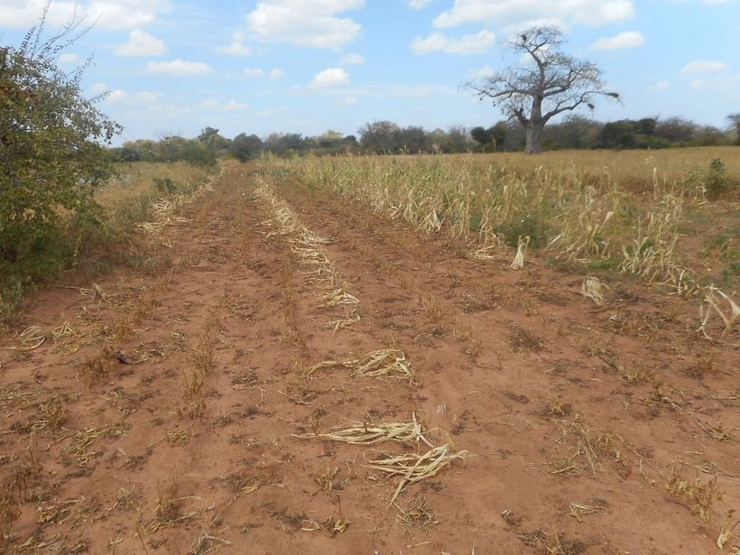 Crops in Kenya that should be ready for harvest have withered in the field due to a lack of rainfall.