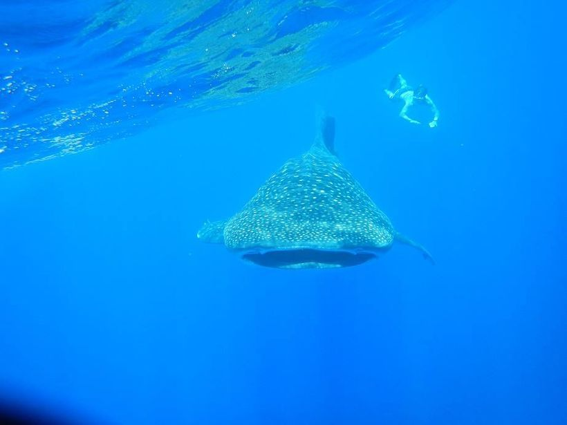 Visitors and islanders alike can dive with Whale Sharks off the coasts of the island during January and February each year.