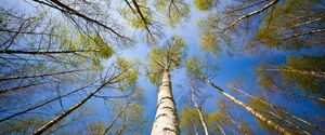 CLEAR SKY CLOSE TO ENVIRONMENTAL CONSERVATION GROUP OF OBJECTS INSPIRATION ORGANIZED GROUP PROSPERITY COMPLEXITY ORGANIZATION BIRCH TREE SUCCESS