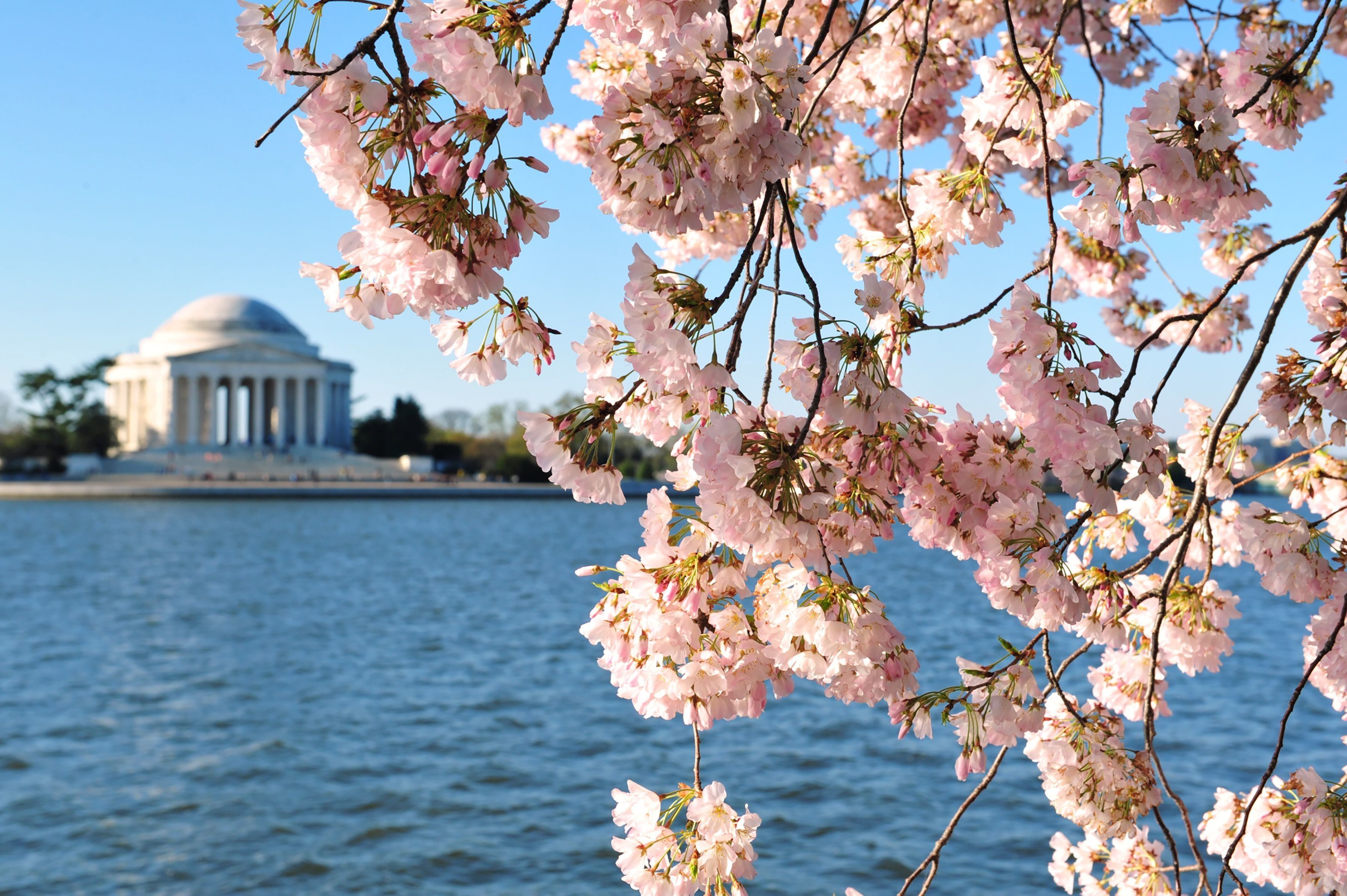 Cherry blossoms are seen in front of the Jefferson Memorial March 29, 2016, in Washington, DC. / AFP / Karen BLEIER        (Photo credit should read KAREN BLEIER/AFP/Getty Images)