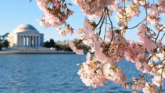 Cherry blossoms are seen in front of the Jefferson Memorial March 29, 2016, in Washington, DC. / AFP / Karen BLEIER        (Photo credit should read KAREN BLEIER/AFP/Getty Images)