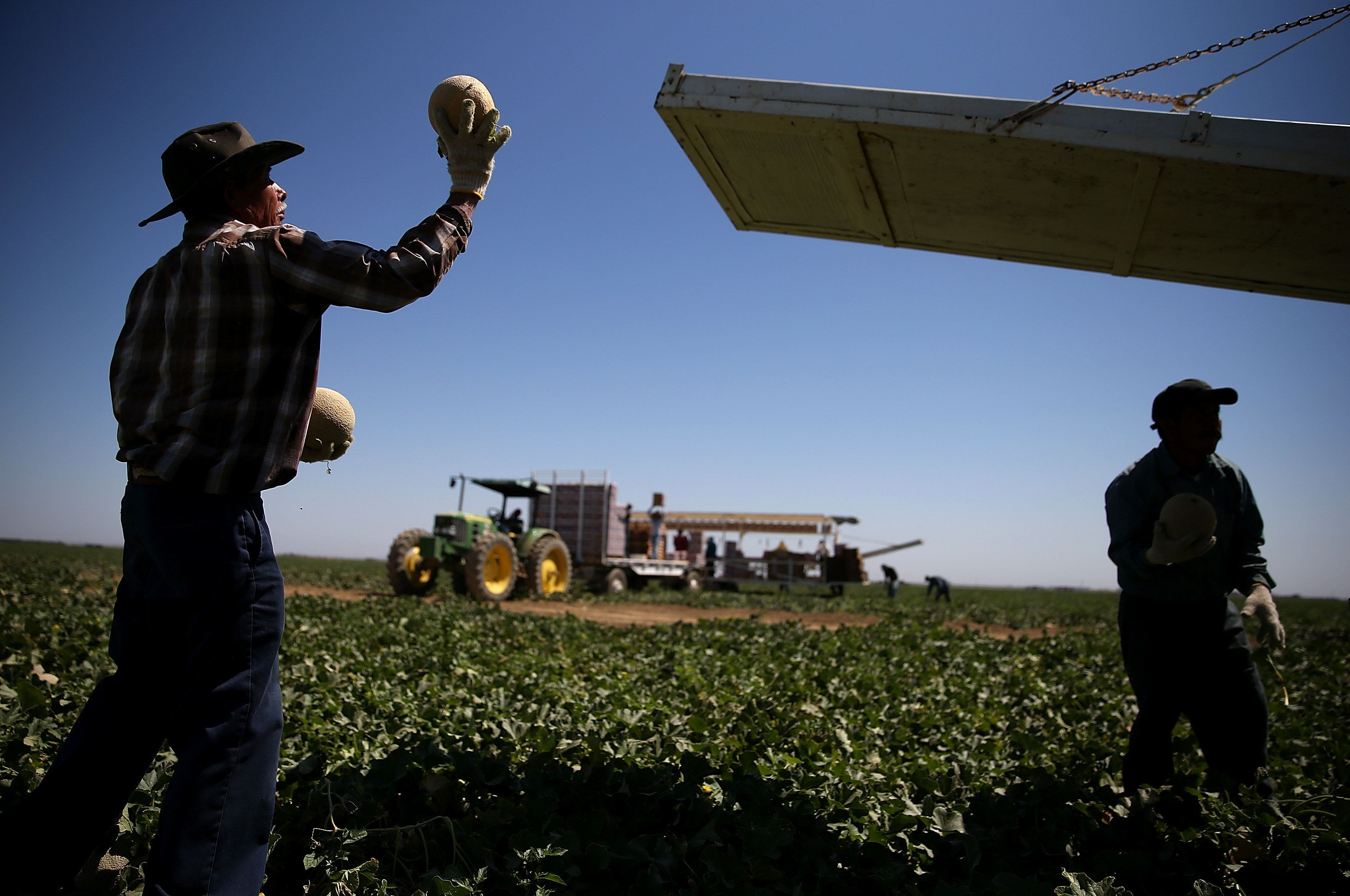 A worker harvests cantaloupes on a farm near Firebaugh, California. Central Valley provides much of the nation's fresh produc
