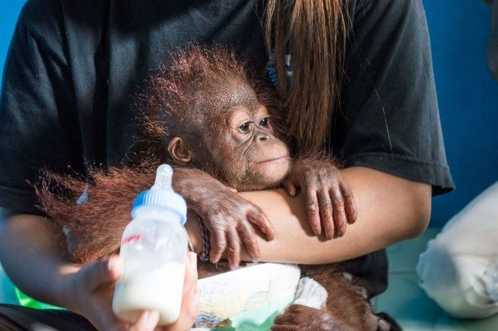 "Vena is seen with an animal rescuer. Orangutans have&nbsp;the <a href=""http://www.orangutan.com/orangutans/orangutan-facts/"""