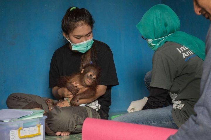 IAR said it rescued Vena from the village of Air Hitam Besar in Kalimantan.