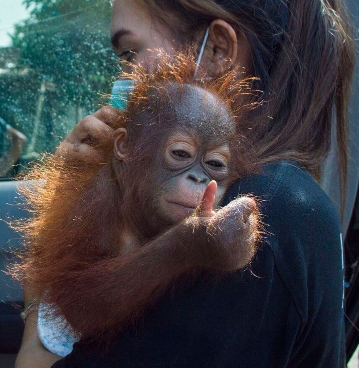 """Vena the orangutanoffered what resembled a """"thumbs up"""" gesture as she was taken away by an animal rescuer last month in"""