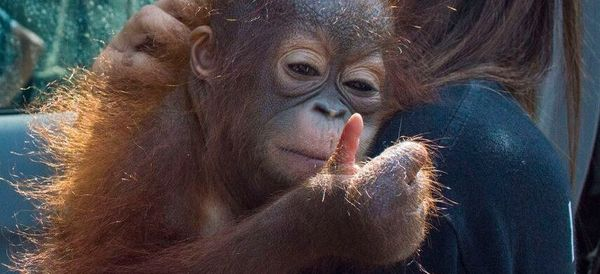 The Baby Orangutan In This Photo Has A Tragic Backstory