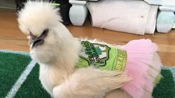 This Chicken In A Tutu Just Became A Therapy Animal And Our Hearts Can't