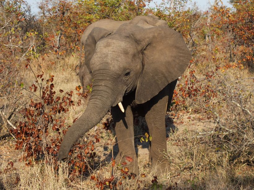 Elephants are among the threatened species groups most affected by climate change