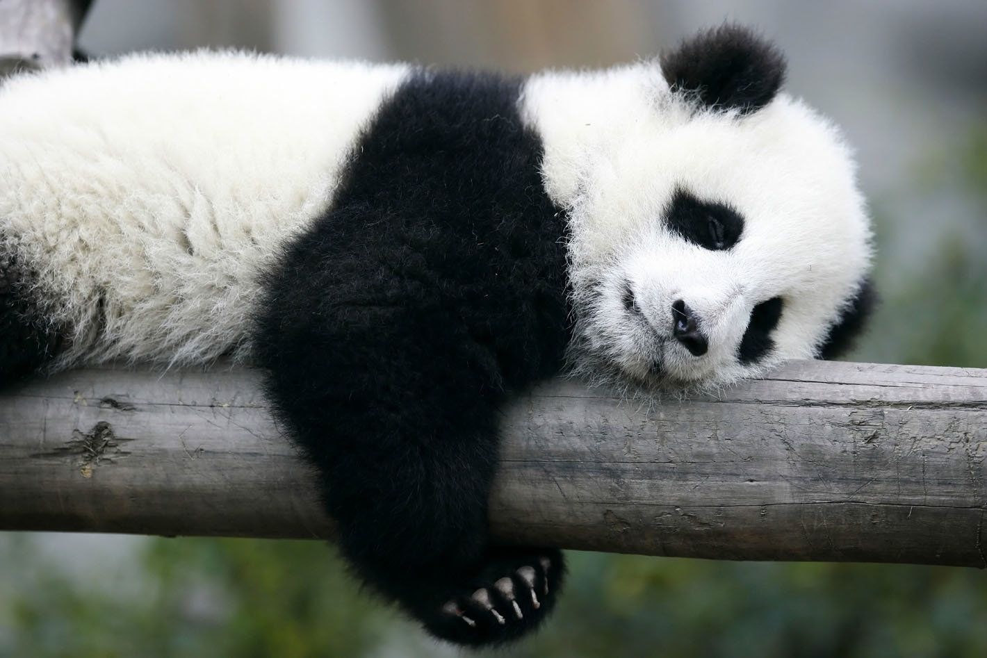 Scientists Now Know How Pandas Got Their