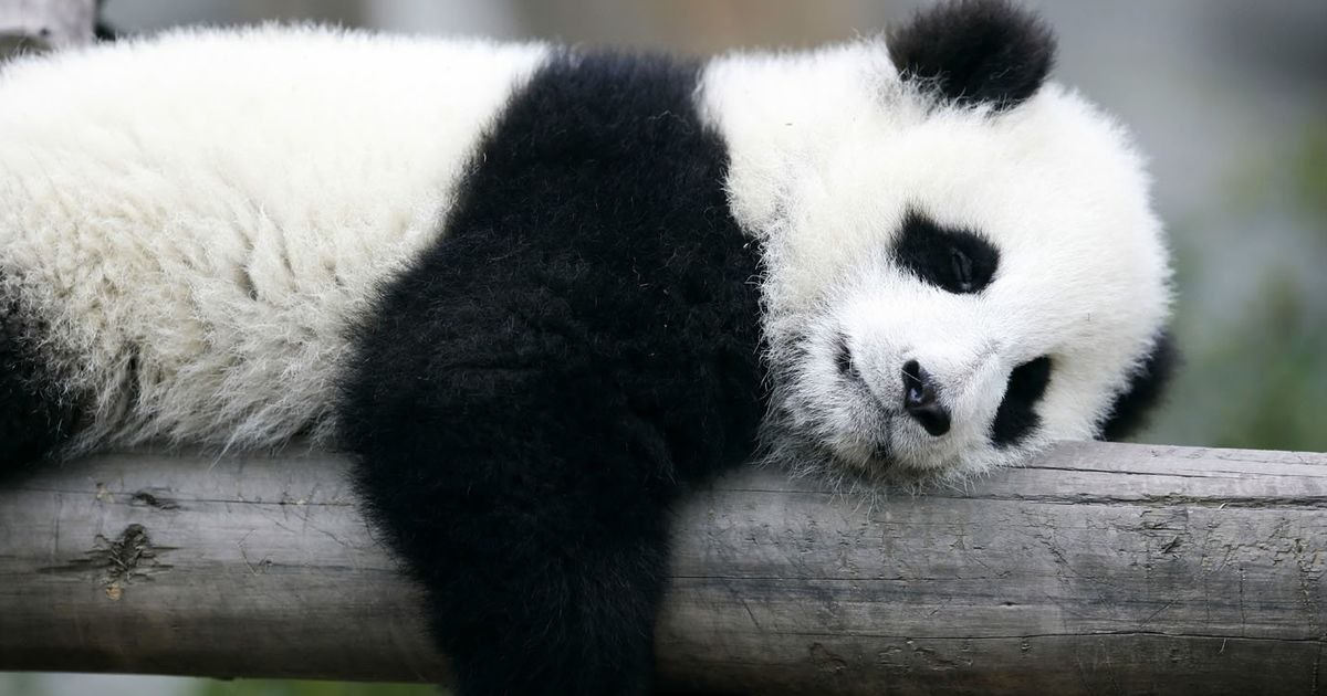 Scientists Now Know How Pandas Got Their Patches