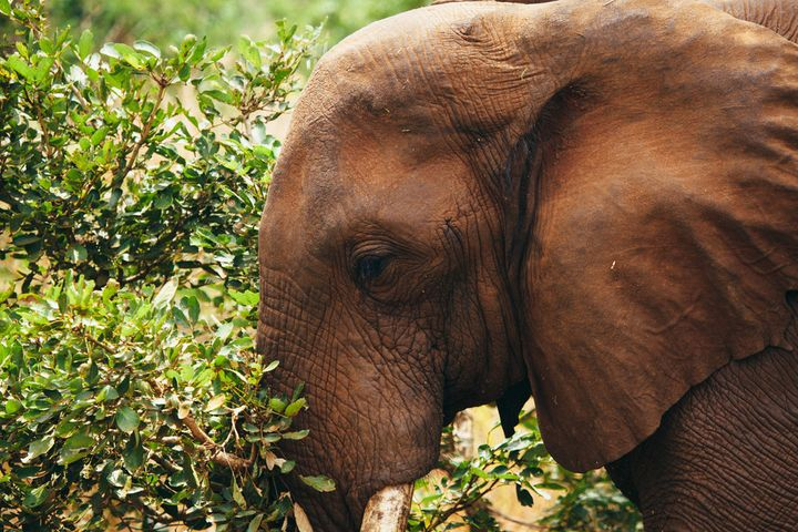 In 1988, African elephants became the first species to benefit from the Multinational Species Conservation Funds.