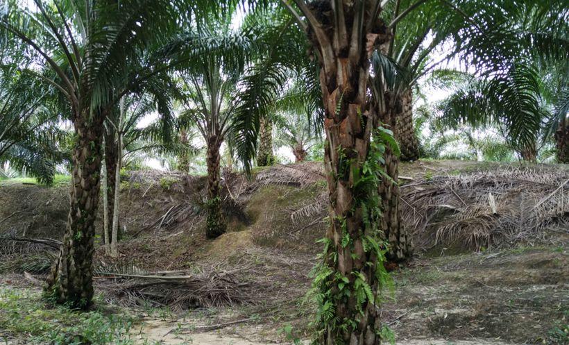 Oil Palm Plantation in Malaysia