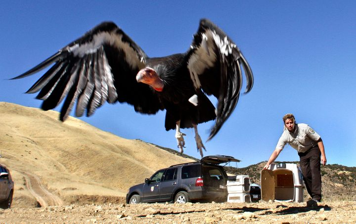 A female condor takes to the sky at the Hopper Mountain National Wildlife Refuge, north of Fillmore, Calif., after being rele
