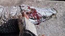Crocodile Stoned To Death By Visitors At Tunis