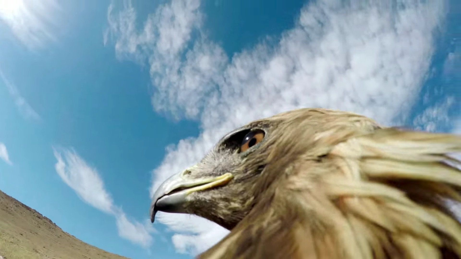 Eagle Armed With A GoPro Hunts A Fox, And It's
