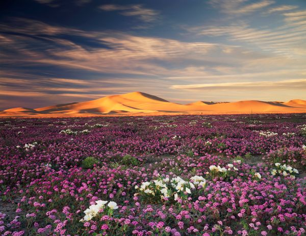 Sand verbena and white primroses blanket the desert.