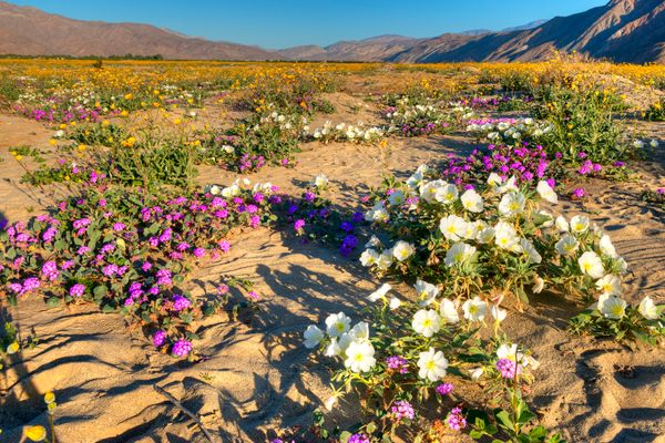 Very colorfull,  blooming Anza Borrego Desert in California.