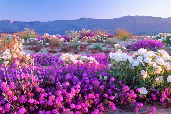 Flowers brighten the desert on Feb. 15, 1999.