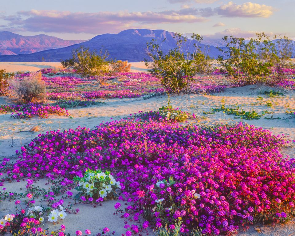 Spectacular Super Bloom Is Just Days Away In This