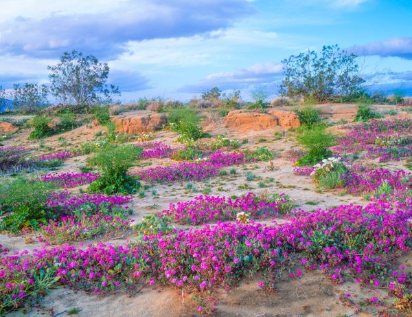 Spring Wildflowers In Anza Borrego Desert State Park, California.