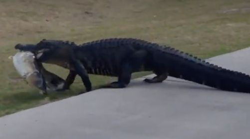 Gator with big fish in mouth strolls across golf course in Florida
