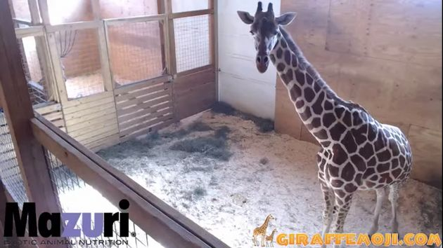 More than 700 miles north of the Dietrichs' home in South Carolina, April the giraffe is waiting to give...
