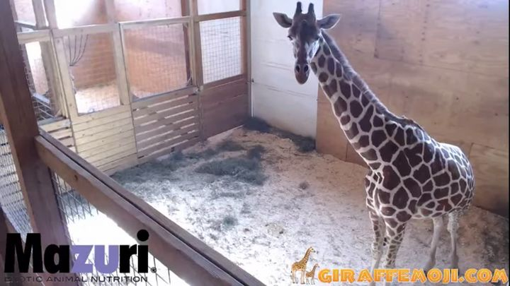 More than 700 miles north of the Dietrichs' home in South Carolina, April the giraffe is waiting to give birth as well.