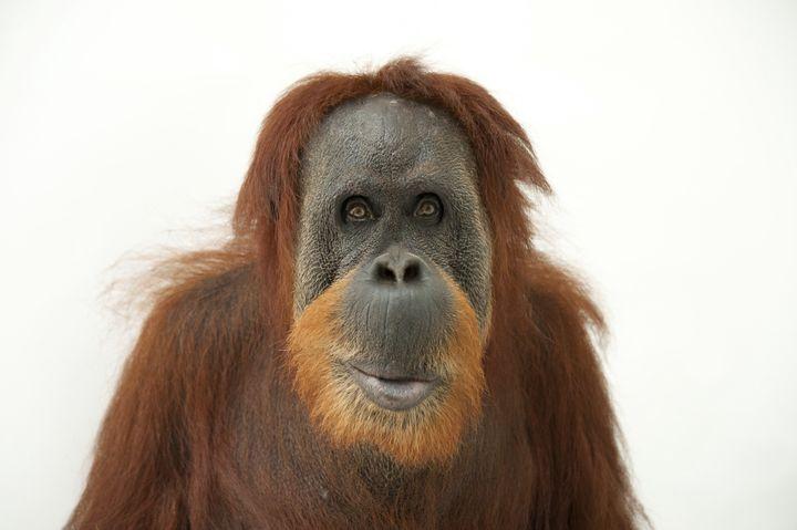 A Sumatran orangutan