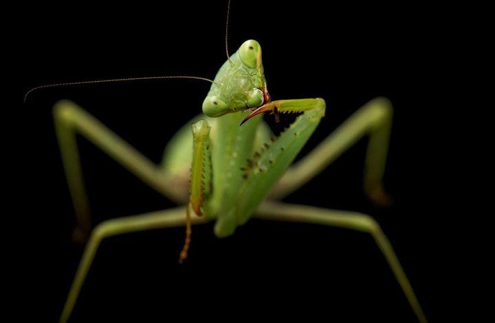 A springbok mantis