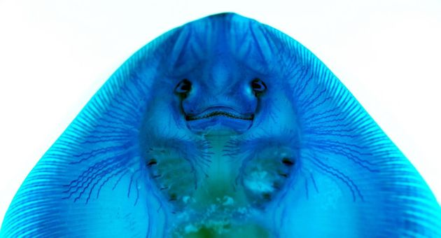 Alcian blue-stained skate with visible canals of ampullary