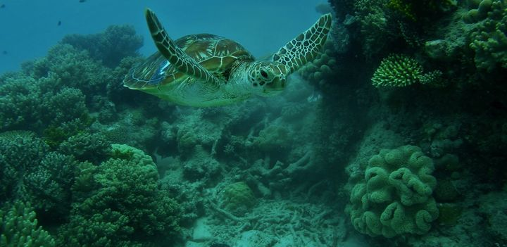 <p>Leroy an Endangered green sea turtle- Great Barrier Reef </p>