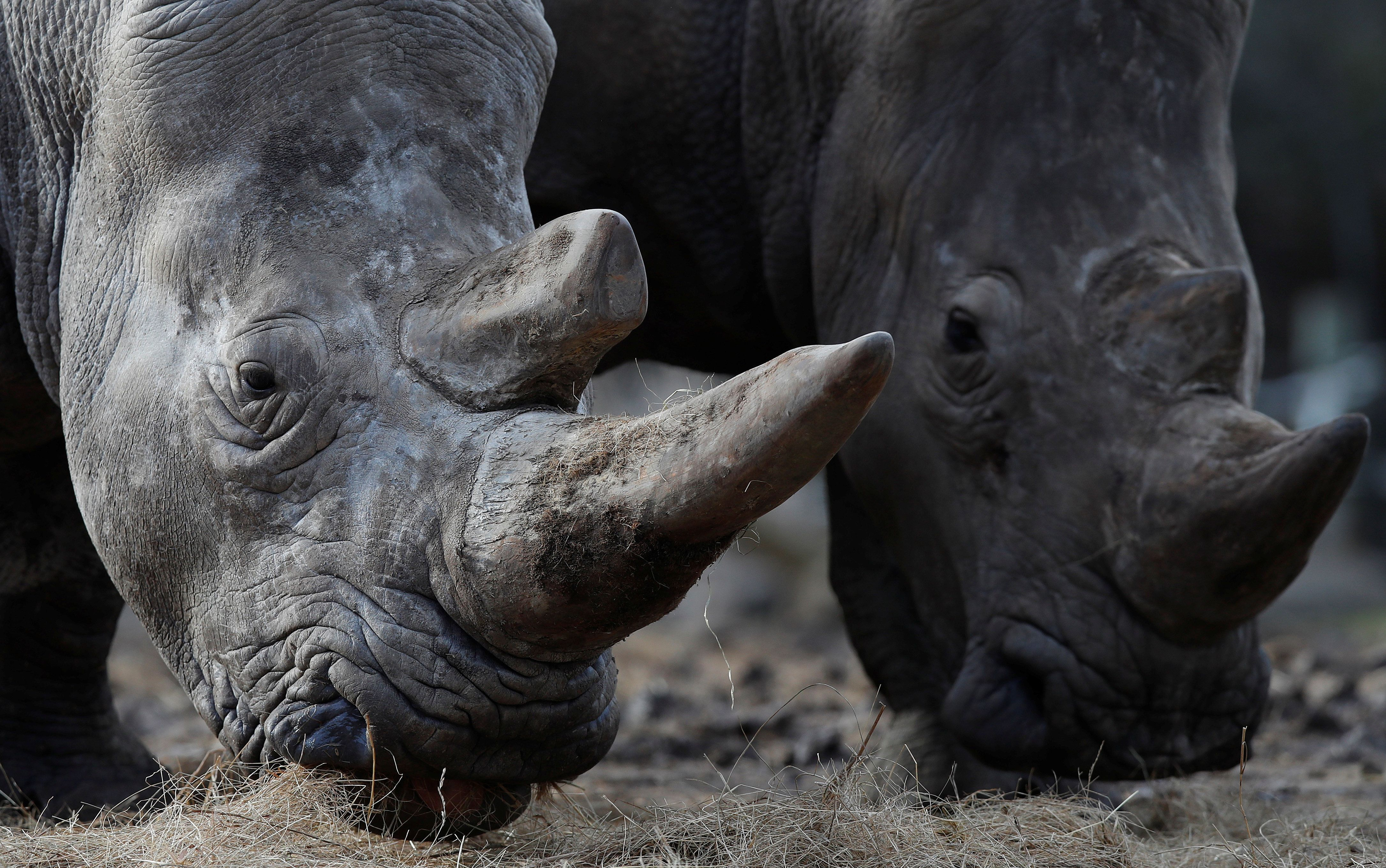 White rhinoceros Bruno (R) and Gracie are seen in their enclosure at Thoiry zoo and wildlife park, about 50 km (30 miles) west of Paris, France, March 7, 2017. Poachers broke into the zoo last night, shot dead four-year-old male white rhino called Vince, and sawed off its horn in what is believed to be the first time in Europe that a rhino in captivity has been attacked and killed. REUTERS/Christian Hartmann