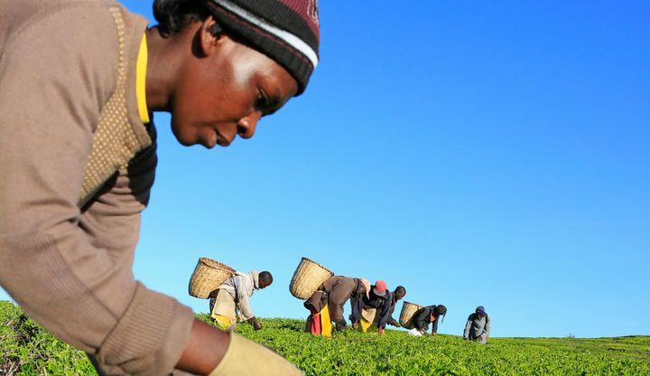 A woman picks tea leaves at a plantation in Nandi Hills, in Kenya's highlands region west of capital Nairobi, November 5, 201
