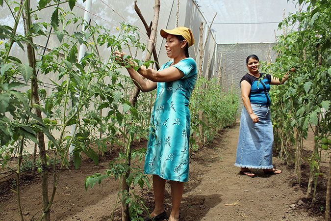 Mercedes Sanchez de Garcia and Doris Gomez from Mujeres en Acción pruning tomato plants. Photo: UN Women/Monika Remé