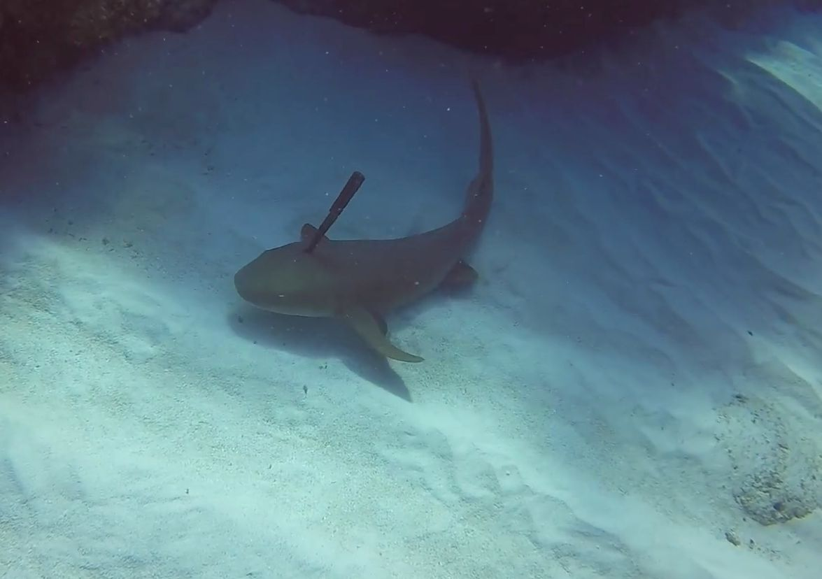 Dive Instructor Saves Shark With A Large Knife Wedged In Its